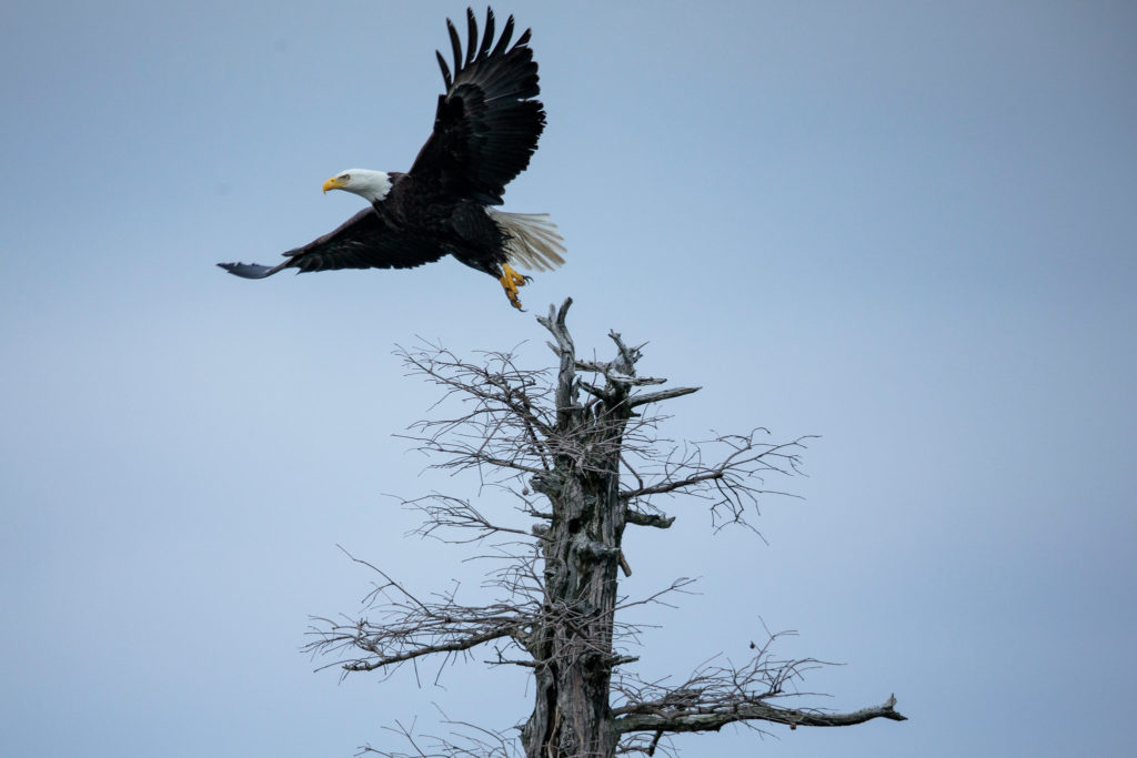 The Eagles of Reelfoot LakeThe New York Times, 28 February 2019